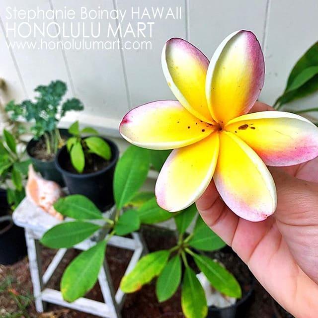 6つの花びらのプルメリアの写真